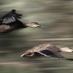 two ducks in flight